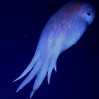 seven-armed-octopus